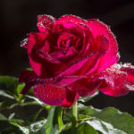 Dew on the Roses
